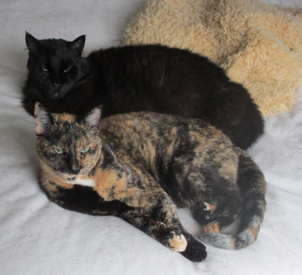 Two cats - one big black Maine Coon, one tortoiseshell, curled up together on a white blanket